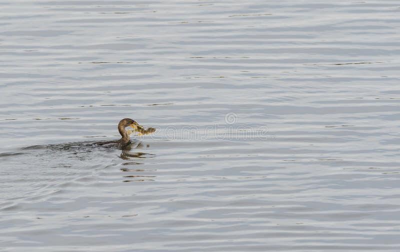 Mare Robin del cormorano a doppia cresta fotografia stock libera da diritti