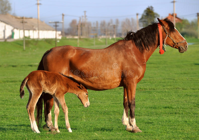 Mare with suckling colt royalty free stock images