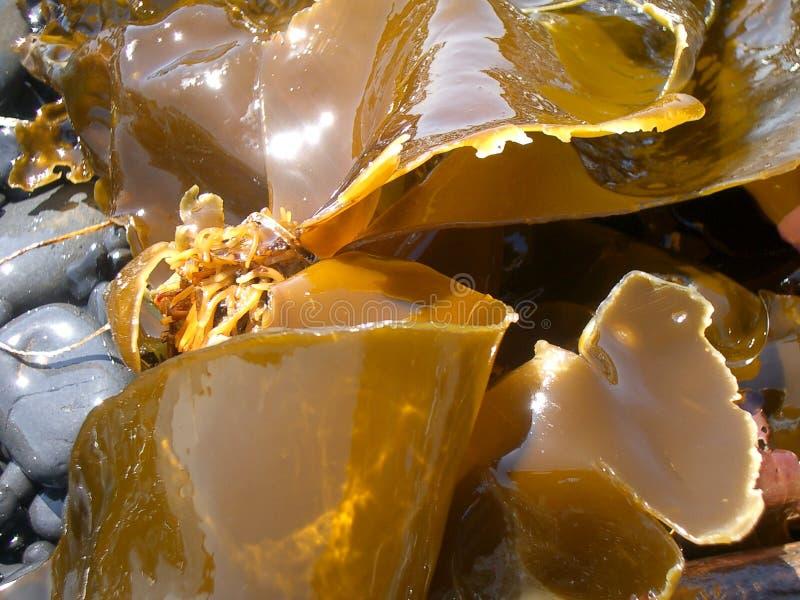 Download Mare Weed immagine stock. Immagine di alga, oceano, marino - 222453