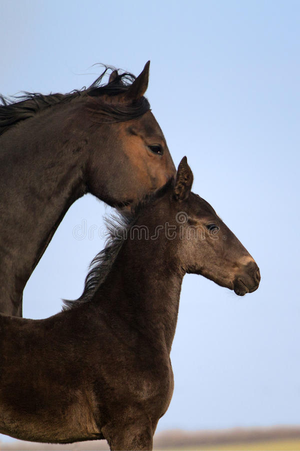 Free Mare With Colt Portrait Stock Image - 47137621