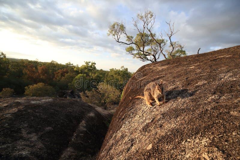 Mareeba rock wallabies at Granite Gorge,queensland australia. Mareeba rock wallabies at Granite Gorge,in the natural habitat ,queensland australia, animal stock images