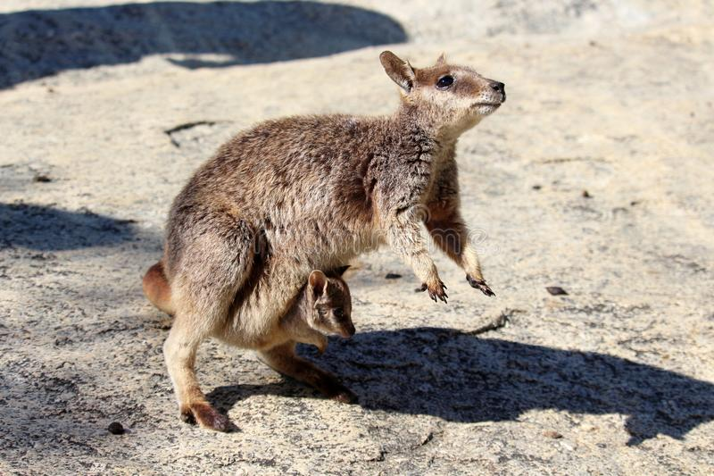 Rock wallaby with joey in pouch stock photography