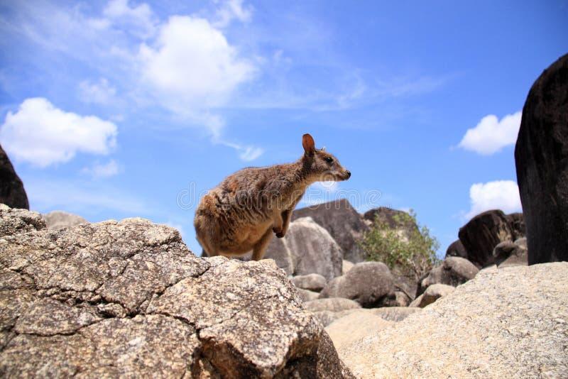 Mareeba Rock Wallaby. (Petrogale mareeba) in Cairns, Australia royalty free stock photo