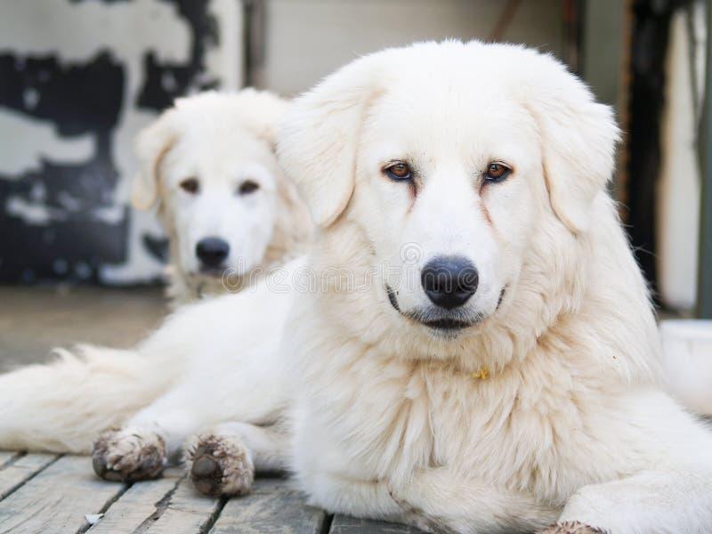 Maremma-Abruzzese Sheepdo, large white friendly dog stock image