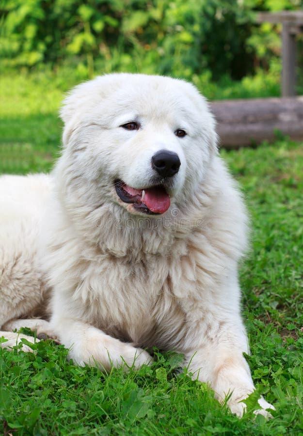 Maremma lub Abruzzese patrolu pies odpoczywa pod krzakiem na gras obraz stock
