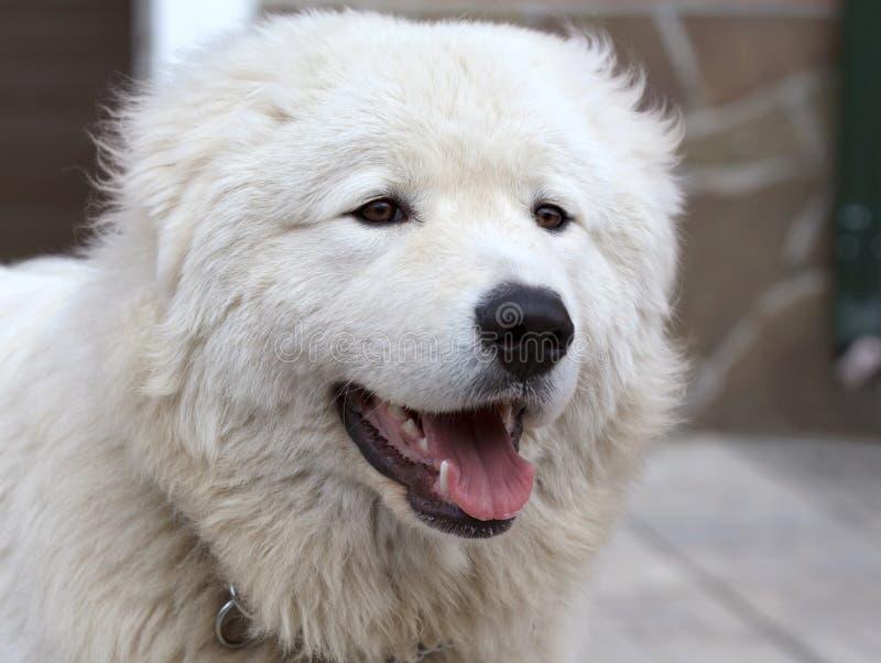 Maremma lub Abruzzese patrolu psa portret fotografia royalty free