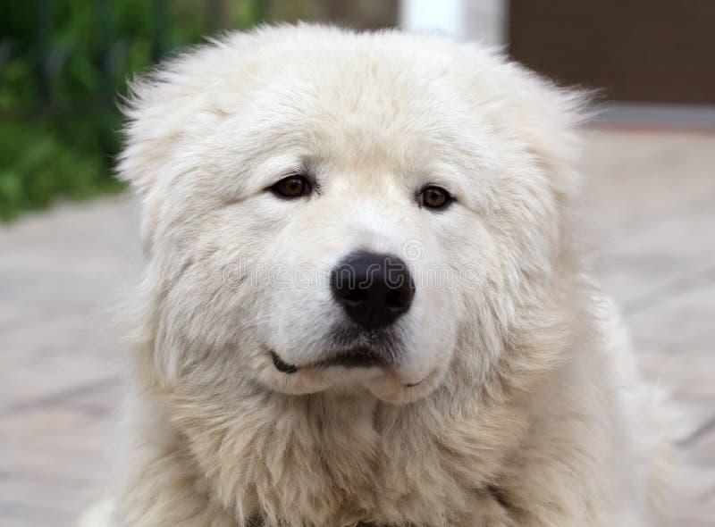 Maremma lub Abruzzese patrolu psa portret zdjęcie stock