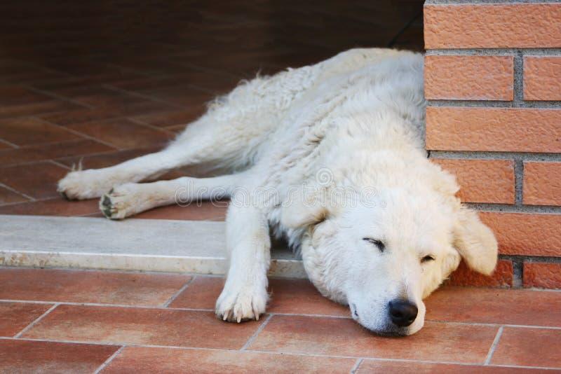 Maremma sheepdog dosypianie na terakotowej podłoga obraz stock