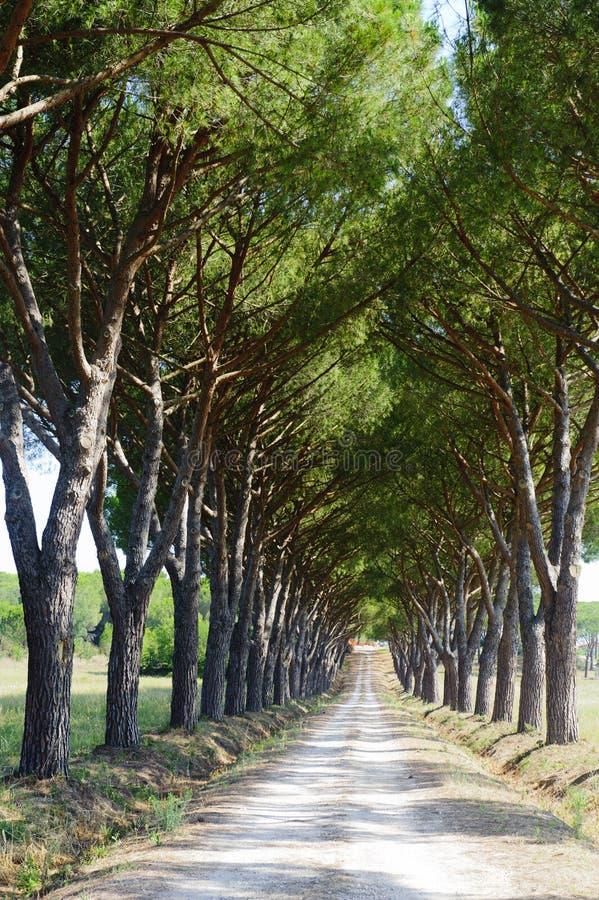 Maremma (Toscana), camino y pinos imagenes de archivo