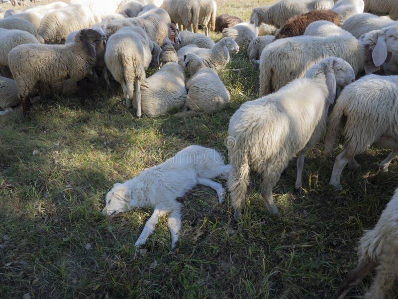 Maremmano Abruzzese bianco Sheepdog addormentato circondato da scepe fotografia stock