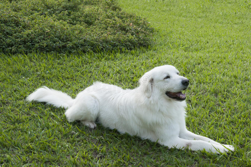 Download White Dog In Green Grass Background Stock Image - Image: 29789881