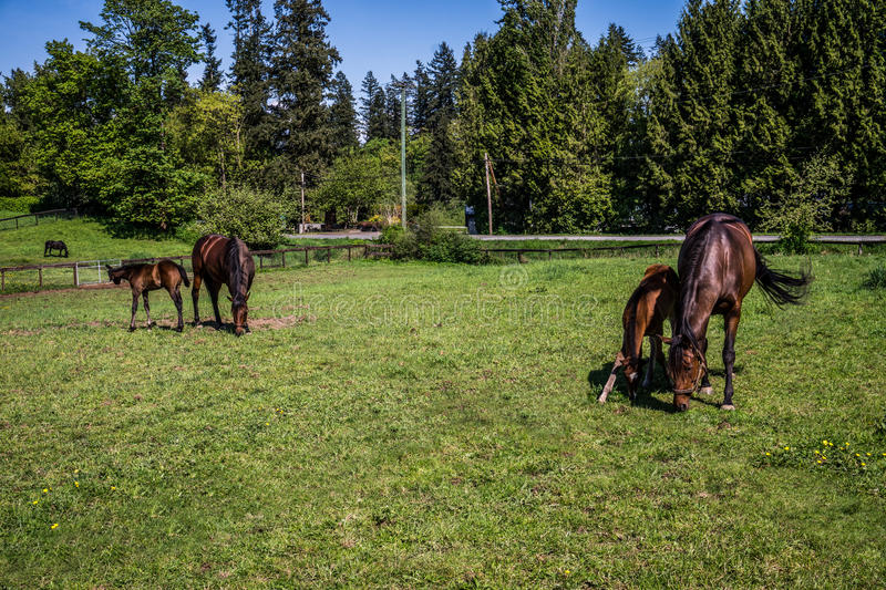 Mares and Fillies Grazing stock photography