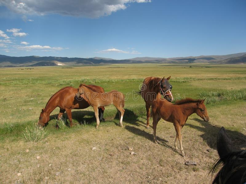 Mares with foals royalty free stock images