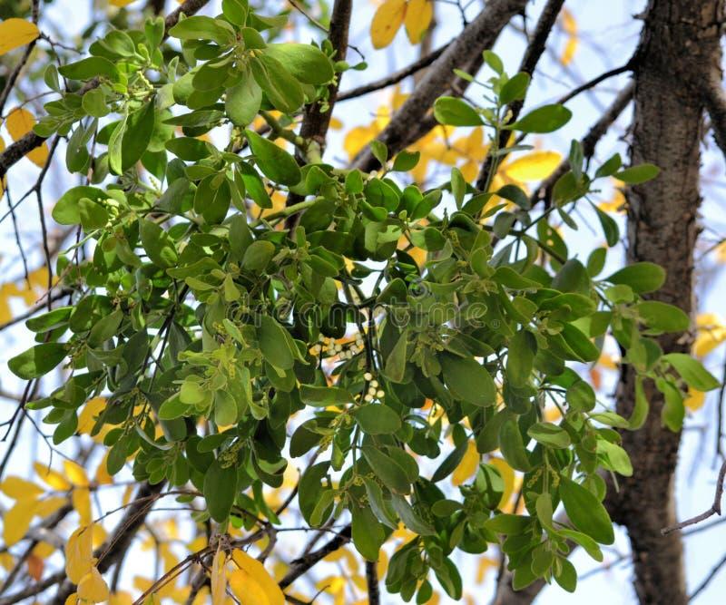 Maretak het groeien op een boom stock foto
