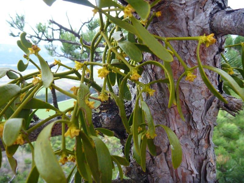 Maretak het groeien op een boom trung royalty-vrije stock foto's