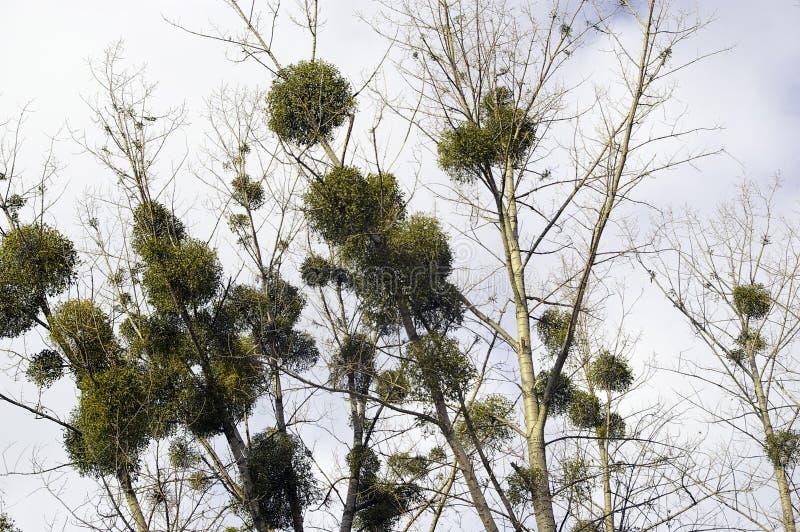 Maretakballen op boom stock afbeeldingen