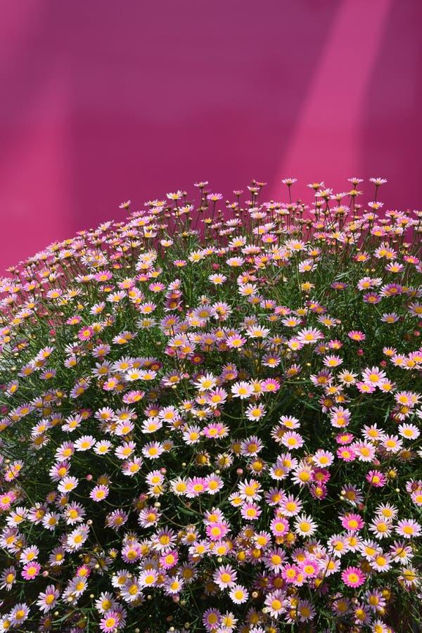 Margaret kwiaty obrazy royalty free