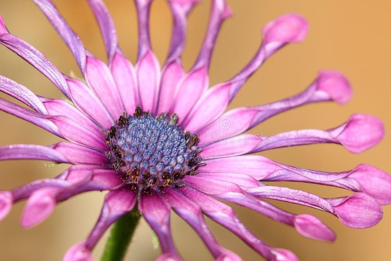 Margarida africana da flor lilás roxa de Osteospermum da colher do soprano imagem de stock royalty free