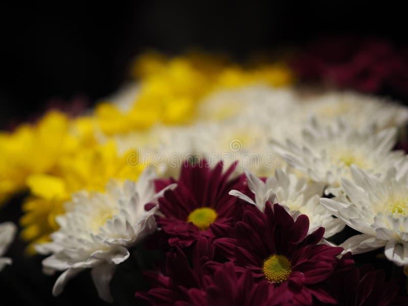 Margarida africana do close up, margarida de Transvaal, fundo amarelo roxo do preto da flor branca do rosa do veridijolia do Gerb foto de stock