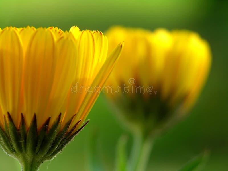 Download Margarida Amarela De Gerber Imagem de Stock - Imagem de vegetação, flora: 10063921