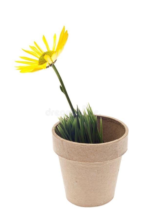 Margarida amarela no potenciômetro da grama imagem de stock