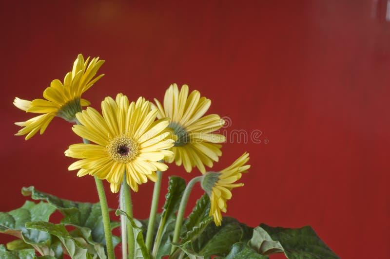 Margarida amarela sobre o fundo vermelho imagem de stock royalty free