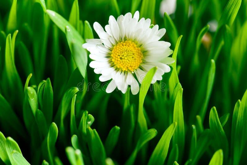 Margarida bonita no gramado verde fotos de stock