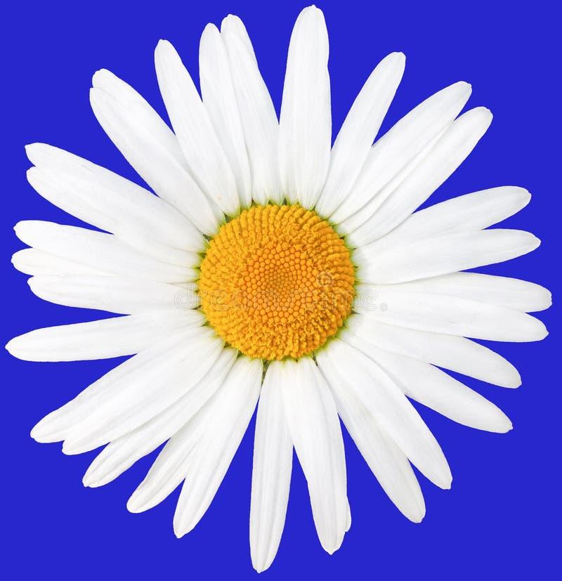 Margarida branca bonita com um centro amarelo Nobilis latinos do anthemis do nome Isolado no azul fotografia de stock royalty free