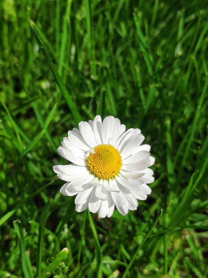 Margarida branca do jardim imagens de stock