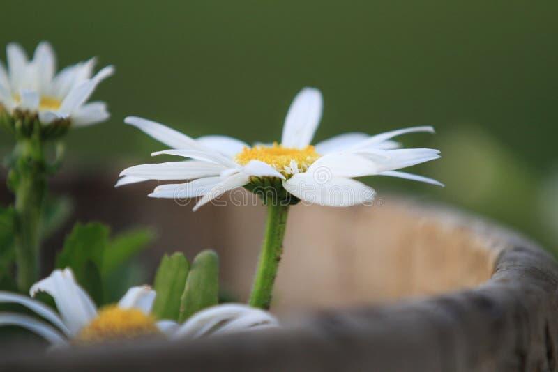 Margarida branca em um potenciômetro do jardim fotografia de stock