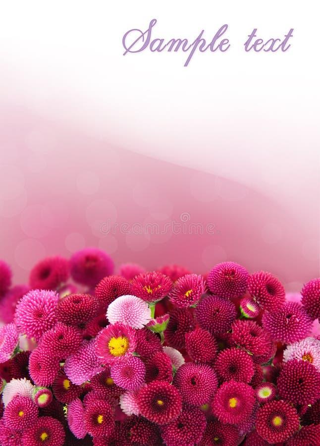 Margarida cor-de-rosa foto de stock
