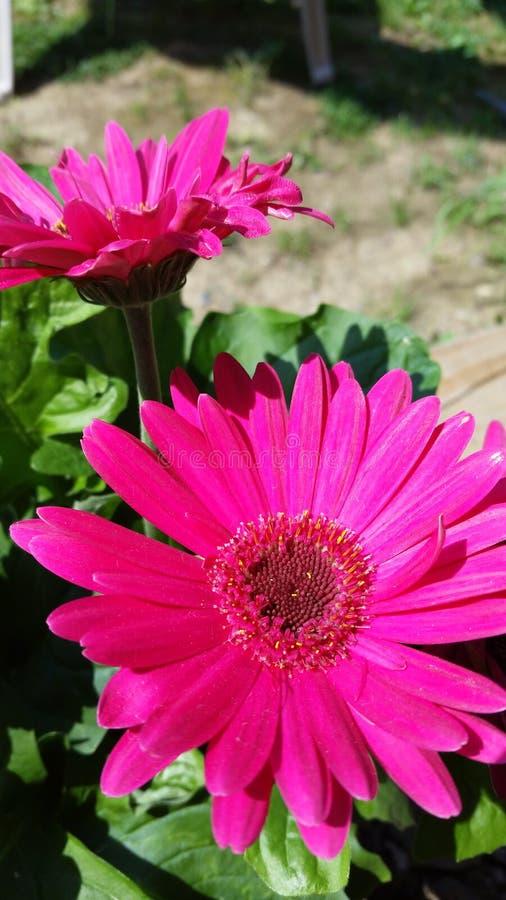 Margarida cor-de-rosa fotografia de stock