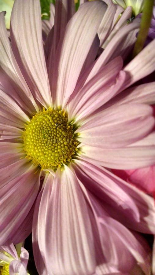 Margarida cor-de-rosa fotos de stock