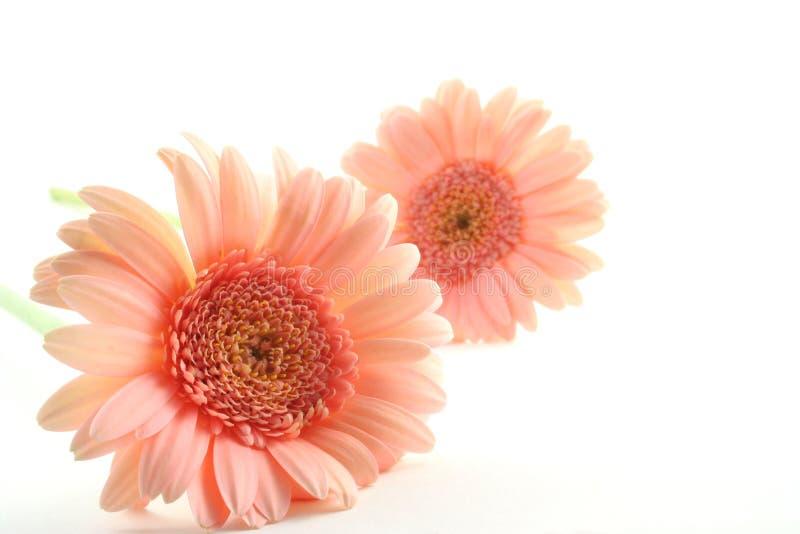 Margarida cor-de-rosa de Gerber fotografia de stock royalty free