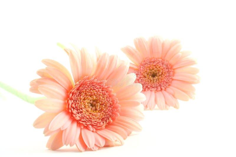 Margarida cor-de-rosa de Gerber fotografia de stock