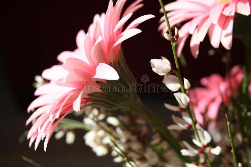 Margarida cor-de-rosa do gerber fotografia de stock