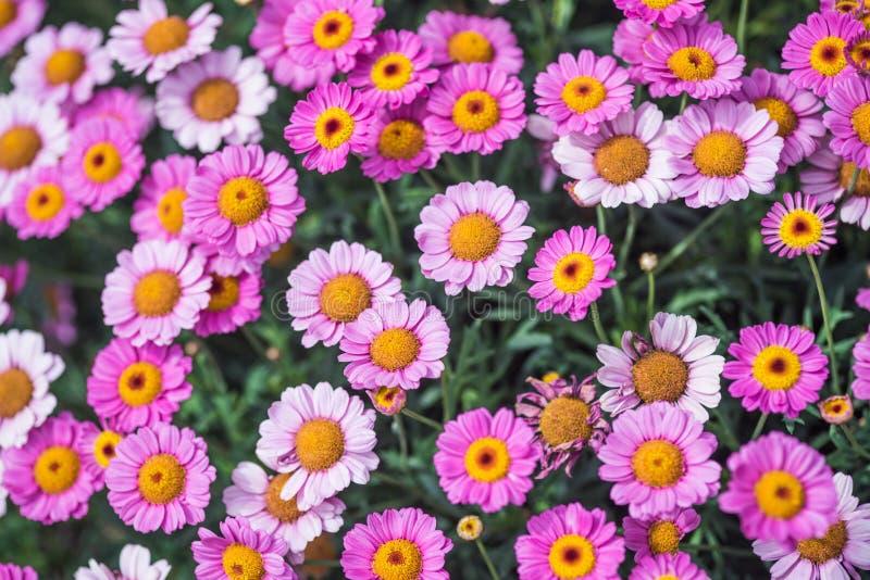 Margarida cor-de-rosa do verão fotografia de stock royalty free