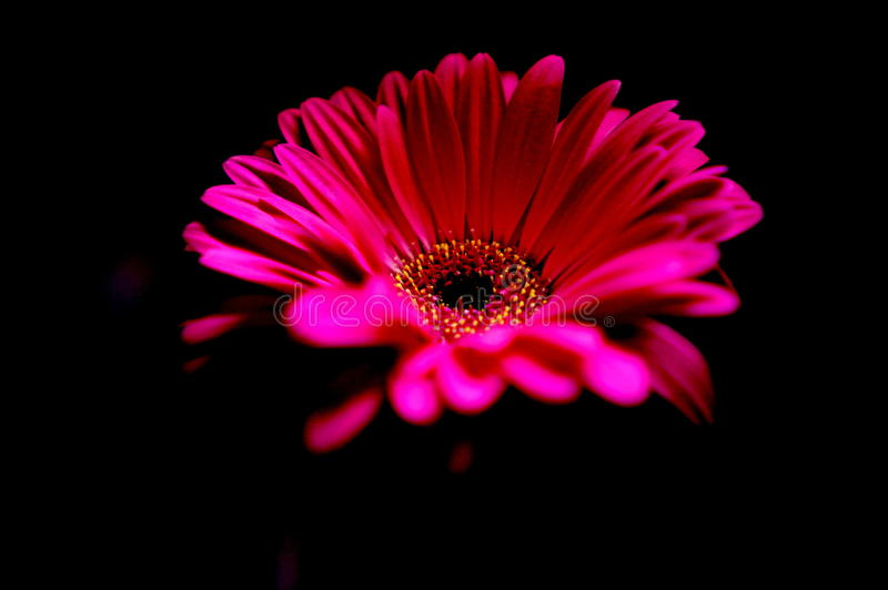 Margarida cor-de-rosa na obscuridade fotografia de stock