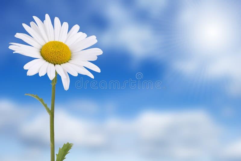 Margarida de encontro ao céu azul fotos de stock