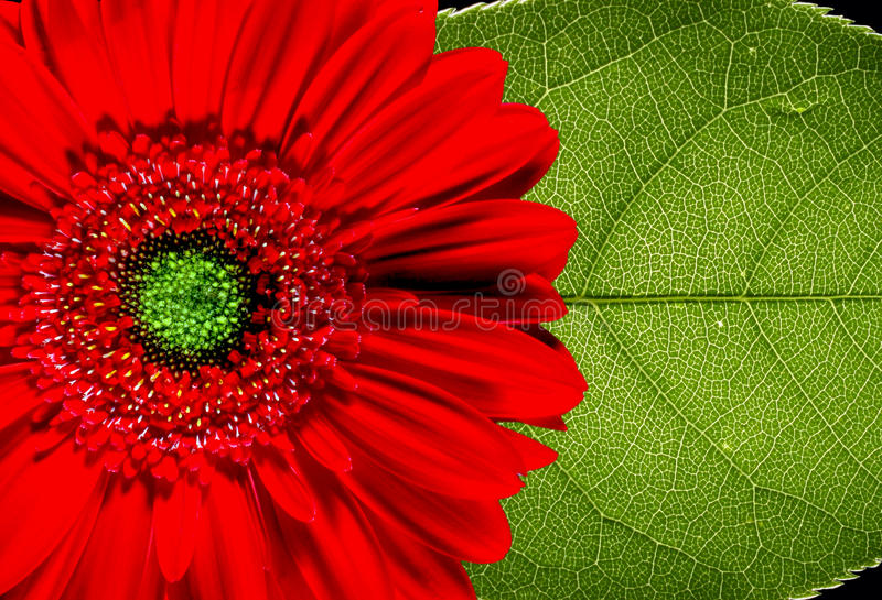 Margarida e folha vermelhas do Gerbera fotografia de stock royalty free