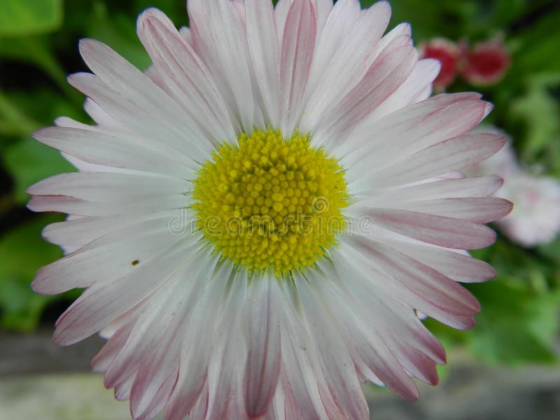 Margarida, flor, jardim, gramado, prado, fora, ramalhete, verão, plantas, beleza, natureza, pétalas fotos de stock royalty free