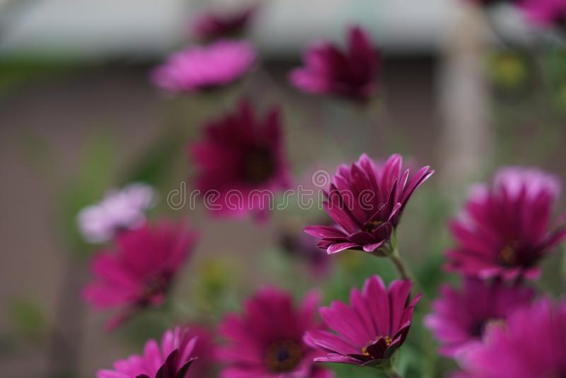 Margarida violeta fotografia de stock