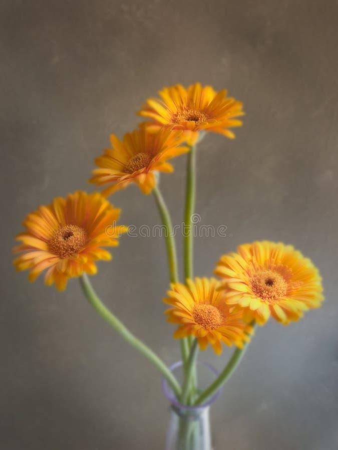 Margaridas alaranjadas do Gerbera no vaso de vidro com fundo cinzento imagem de stock royalty free