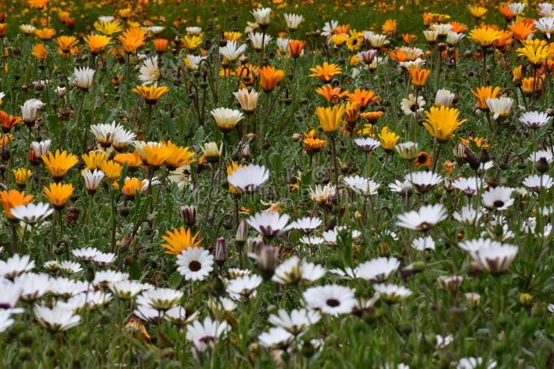 Margaridas amarelas e brancas, nr Cape Town do jardim botânico de Kirstenbosch fotos de stock