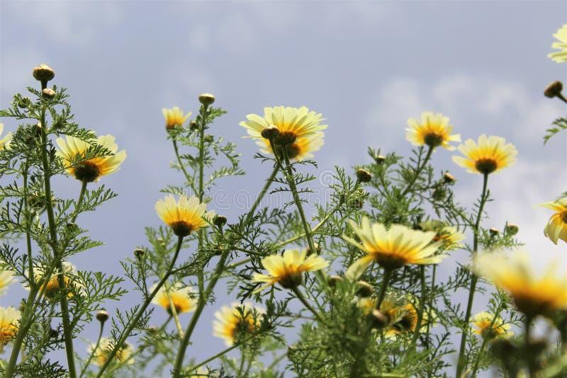 Margaridas amarelas e o céu fotos de stock