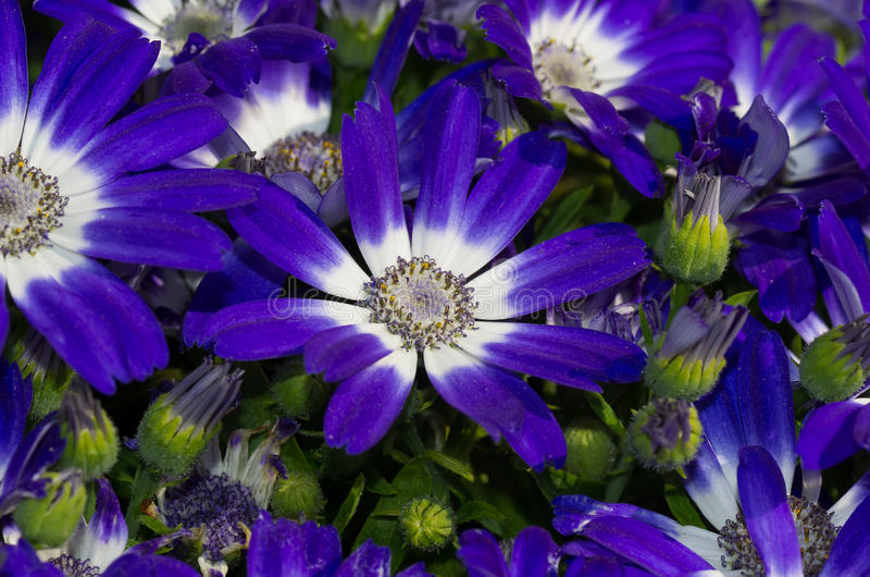 Margaridas azuis foto de stock royalty free