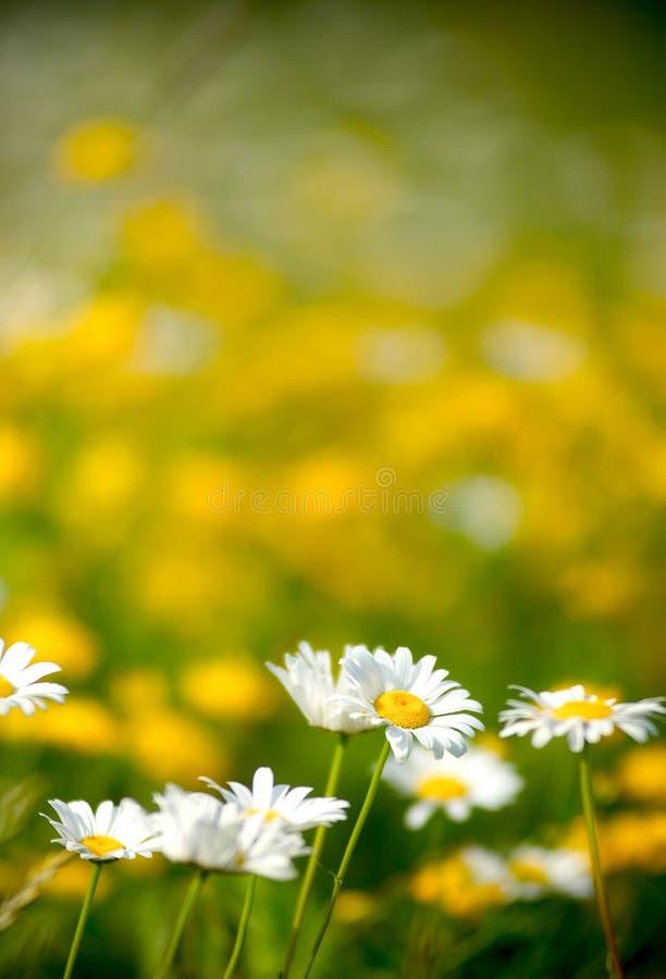 Margaridas brancas bonitas em um campo das flores fotografia de stock royalty free