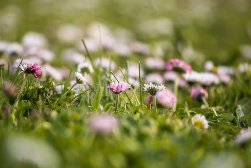 Margaridas brancas bonitas que florescem na grama Cenário do verão no jardim e no parque fotos de stock royalty free