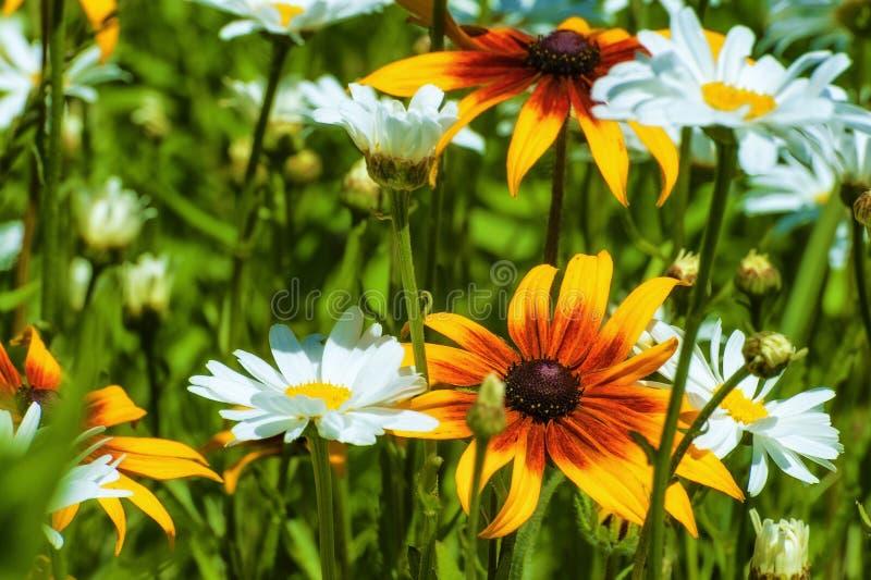 Margaridas brancas e flores de susan do olho roxo foto de stock royalty free