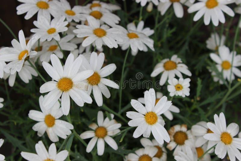 Margaridas brancas em um graden foto de stock